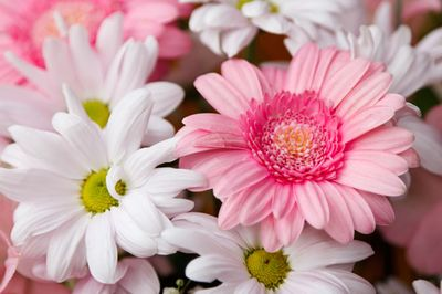 gerberas-and-chrysanthemums