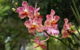 Beautiful orchids - Philippine islands