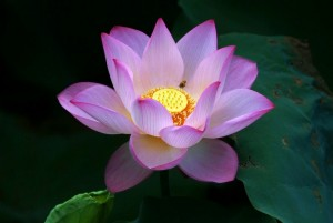 Beautiful Lotus Flowers Wallpapers 433