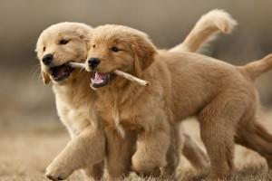 due-cani-che-giocano