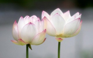 AF922~Lotus-Flower-Posters