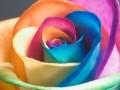 fiori-olandesi-arcobaleno