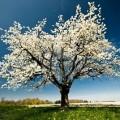 3571593-unico-albero-in-fiore-in-primavera