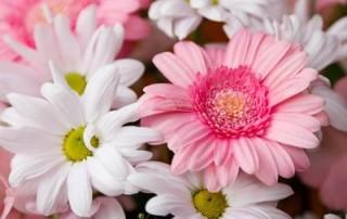 gerberas-and-chrysanthemums