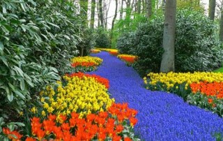 tulipano_01
