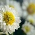 4174352-unico-piccolo-crisantemi-con-gocce-macro-shot