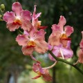 Beautiful orchids - Philippine islands