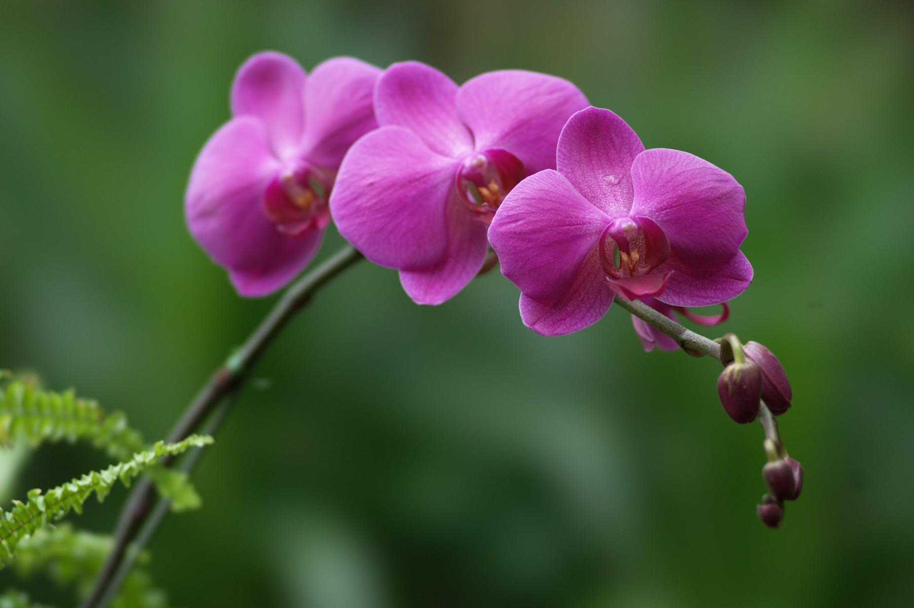 Sfondi desktop orchidee scarica sfondi gratuiti for Foto full hd per desktop