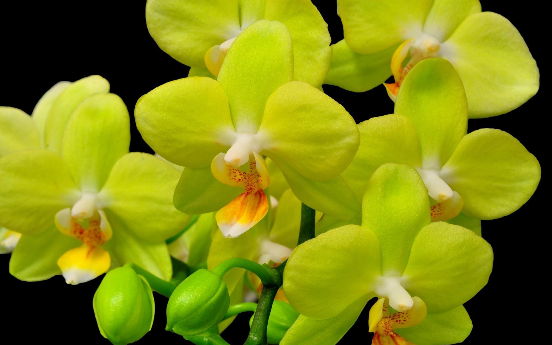 Sfondi desktop orchidee scarica sfondi gratuiti for Orchidea pianta