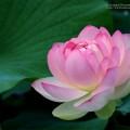 lotus-blossom-free-screensavers-61286