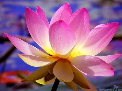 flower-lotus-image-