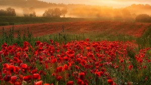 Sky Fog Poppies Flowers Field Sunset Flower Hd Iphone Wallpaper